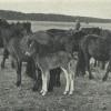Dülmenský pony: Tragický omyl vedl k zániku posledního stáda divokých koní na kontinentu