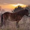 Vzácnější než panda. Divokých koní z Exmooru zbývají poslední dva tisíce