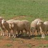 Pastva ovcí vyhubila na řadě míst vzácné květiny a ohrožené motýly