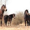 Divocí koně pomohou chránit přírodu v Národním parku Podyjí, z Anglie přijedou na jaře