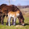 V rezervaci divokých koní se narodila první jarní hříbata