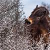 Divocí koně z Milovic pomohou chránit dvě unikátní rezervace ve východních Čechách