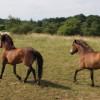 Divocí koně byli dnes vypuštěni na pastvinu v Národním parku Podyjí