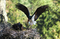 Rekordní počty mláďat vzácných ptáků v Českém Švýcarsku