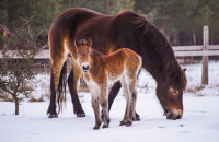 První letošní hříbata divokých koní přišla na svět na sněhu