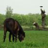 Fantastické výsledky. Divocí koně ve východních Čechách pomohli vzácným rostlinám, broukům i ohroženým druhům vodních ptáků