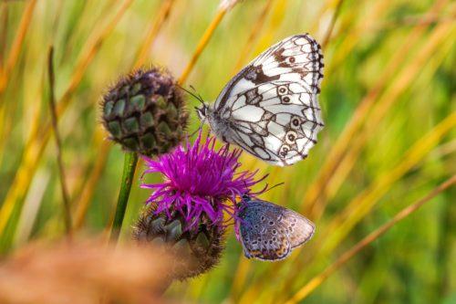 Motýli a včely vymírají v celé Evropě. Čeští vědci úspěšně vyzkoušeli recept na jejich záchranu