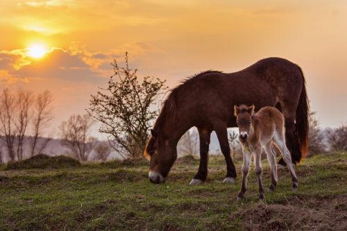 Koronaviru navzdory. Češi prokazují velké srdce, zachraňují oblíbenou rezervaci divokých koní